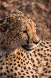 Portrait of a Cheetah stock images