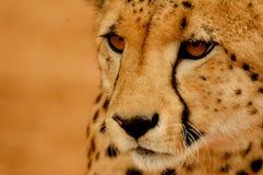 Portrait Cheetah. Cheetah in National Park of Etosha Stock Photos
