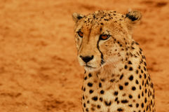 Portrait Cheetah Royalty Free Stock Images