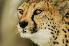 Portrait Cheetah. Cheetah in National Park Etosha Namibia Stock Images