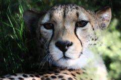 Portrait of Cheetah Stock Image