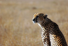 Portrait of a cheetah in Serengeti Royalty Free Stock Photos