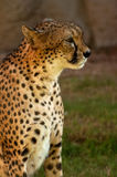 Portrait of cheetah. From side royalty free stock photo