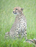 Portrait of a Cheetah Royalty Free Stock Photography
