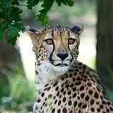 Portrait of a Cheetah sitting in forest looking at something with his tongue a bit out of his mouth stock photo