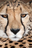 Portrait of a Cheetah royalty free stock photo