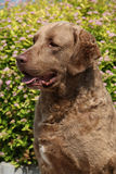 Chesapeake Bay Retriever in beautiful garden Royalty Free Stock Photography