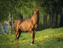 Portrait of chestnut arabian horse Royalty Free Stock Photography