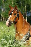 Portrait of chestnut arabian stallion with perfect harness Royalty Free Stock Photo