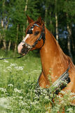 Portrait of chestnut arabian stallion with perfect harness Royalty Free Stock Images