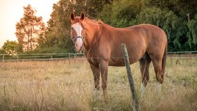 Portrait of chestnut or brown horse with long mane in field against sunset sky, horizontal. Portrait of chestnut or brown horse with long mane in a field against stock photography