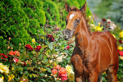 Portrait of chestnut foal Royalty Free Stock Image