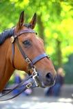 Portrait of chestnut horse. Portrait of graceful British police horse on duty Stock Images