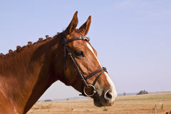 Portrait of a chestnut horse Royalty Free Stock Photo