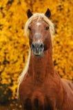 Portrait of chestnut horse in autumn. Portrait of chestnut horse in golden autumn Royalty Free Stock Photo