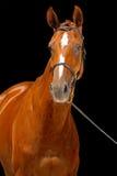 Portrait of chestnut horse,  Royalty Free Stock Photo