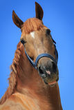 Portrait of the chestnut horse on the blue sky background Stock Photos