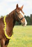 Portrait of chestnut horse with dandelion circlet Stock Photos