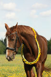 Portrait of chestnut horse with dandelion circlet Royalty Free Stock Photo