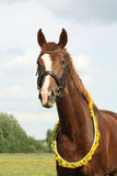 Portrait of chestnut horse with dandelion circlet. At the pasture Stock Images