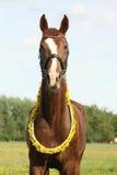 Portrait of chestnut horse with dandelion circlet Stock Images