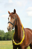 Portrait of chestnut horse with dandelion circlet Stock Photo
