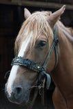 Portrait of chestnut horse Stock Photos