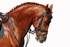 Portrait of chestnut horse isolated on white Stock Images
