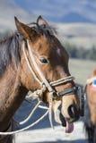 Portrait of chestnut horse pulling his tongue. Merida, Venezuela Stock Photo