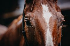 A closeup of a chestnut horse`s eyes. A portrait of a chestnut horse taken during the golden hour Royalty Free Stock Images
