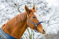 Portrait of chestnut horse with white stripe. And blue halter on standing in a paddock on a winter day, blurry tree and sky in background, close up image stock photo