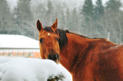 Portrait of chestnut horse in winter Royalty Free Stock Images