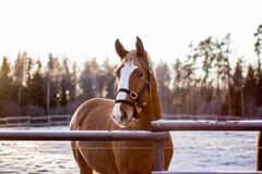 Portrait of chestnut horse in winter sunset Stock Photo