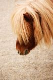 Portrait of chestnut shetland pony Royalty Free Stock Images