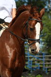 Portrait of chestnut sport horse Royalty Free Stock Photography