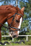 Portrait of chestnut sport horse Royalty Free Stock Photo