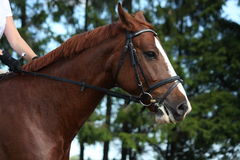 Portrait of chestnut sport horse Stock Images