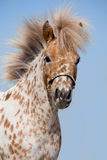 Portrait of chestnut in spots miniature horse. In show bridle at blue sky Stock Photos