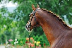 Portrait of chestnut stallion with braided mane Stock Photos