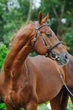 Portrait of chestnut stallion with braided mane Stock Images
