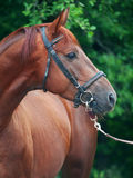 Portrait of chestnut Trakehner stallion. Cloudy morning Stock Photos