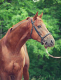 Portrait of chestnut Trakehner stallion. Cloudy morning stock images