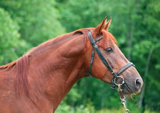 Portrait of chestnut Trakehner stallion. Cloudy morning Stock Image