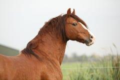 Portrait of chestnut welsh pony