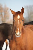 Portrait of chestnut young colt in winter Stock Photos