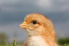 Portrait of a chick stock photography