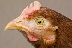 Portrait chicken Stock Photography
