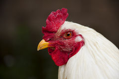 Portrait of a chicken. A portrait of a white chicken taken on a farm in Anatolia Stock Images