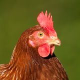 Portrait of chicken. Portrait of amazing chicken with red peak Stock Images
