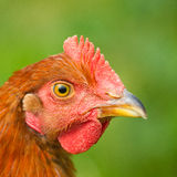 Portrait of a chicken Royalty Free Stock Images